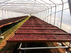 2コーヒー豆乾燥風景